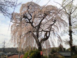平久江家の樹齢400年の桜